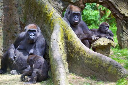 Grupo de gorilas de montaña con bebés