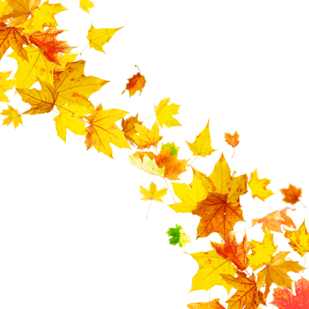 Falling multicolored autumn maple leaves on white background