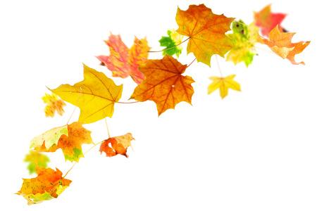 caida libre: La caída de arce hojas de otoño en el fondo blanco