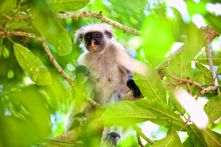 잔지바르, Jozani 숲에서 빨간색 부스 원숭이 (Procolobus kirkii) 스톡 콘텐츠