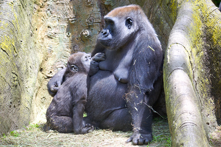 Female mountain gorilla feeding baby Stock Photo
