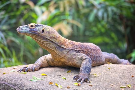 Komodo dragon, Varanus Komodoensis sitting on stone