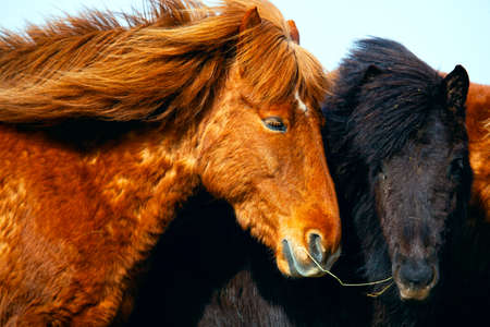 Portrait of Icelandic horses in Iceland Stok Fotoğraf