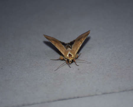 A Moth sitting on a floor. They are closely related to butterflies