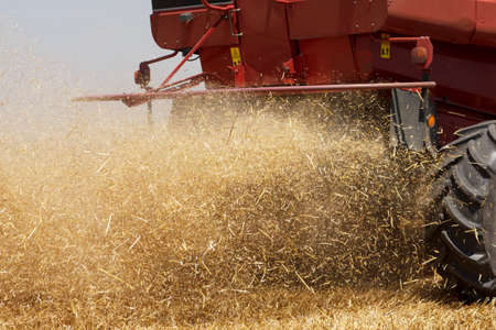 threshing: Wheat harvestier in action harvesting wheat