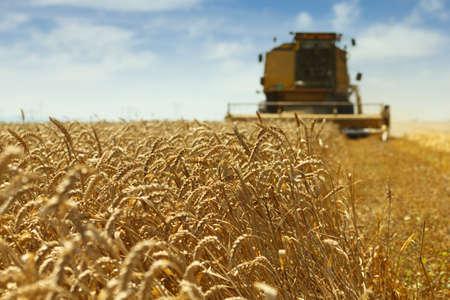 cosechadora: Cosechadoras en acción en el campo de trigo