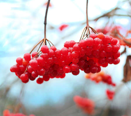 guelder rose berry: Close-up of red  viburnum berries on a branch in the garden in winter Stock Photo