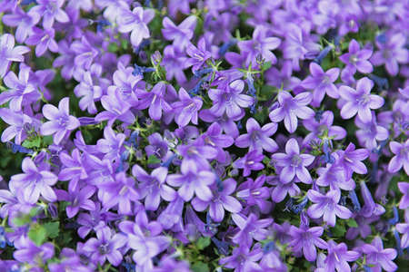 Beautiful floral background of purple flowers Campanula portenschlagiana; floral wallpaper Stock Photo