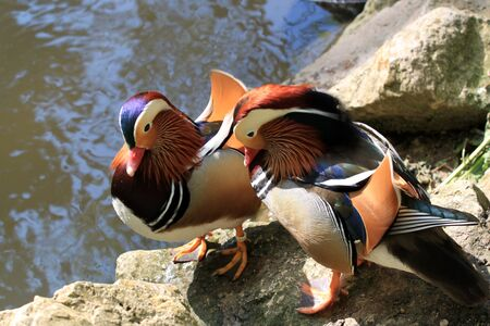 Two mandarin ducks near the beach photo