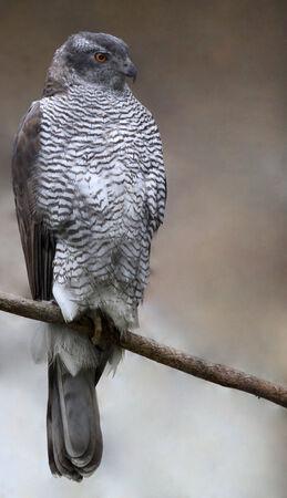 azor: Azor - Accipiter gentilis