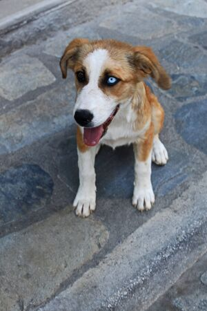 Unique stray dog with different eye colors