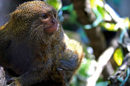 Adult pygmy marmoset standing on the branch Stock Photo
