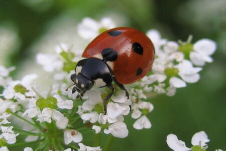 Close up of ladybug on white flower in nature Archivio Fotografico