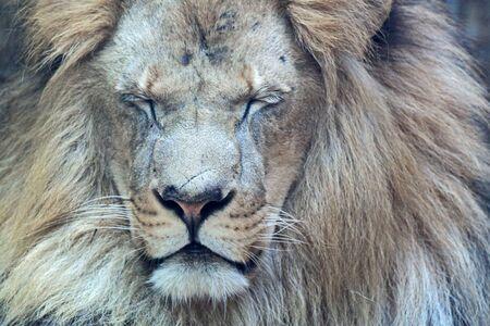 Close-up portrait of a handsome African lion winks Foto de archivo