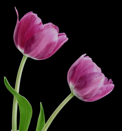 Pair of purple tulips on black background