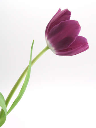 beautiful single purple tulip on white background green leaf