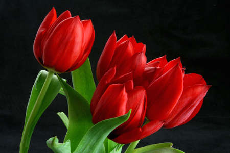 Close up red  tulip bunch in bloom and green stem
