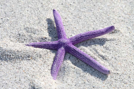 Purple starfish from the ocean on sandy beach Stock Photo