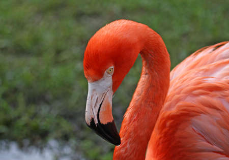 Florida pink Flamingo with serious thoughtful look photo