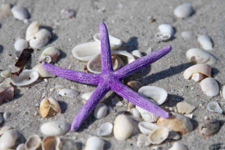 Purple starfish from the ocean on sandy beach and shells