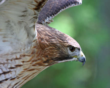 Red tail hawk fierce hunter looking for pray