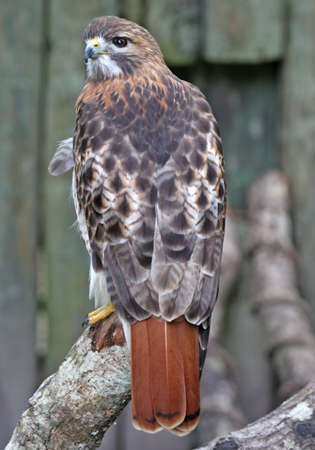 Beautiful Red tail hawk profile fierce hunter of pray Stock Photo