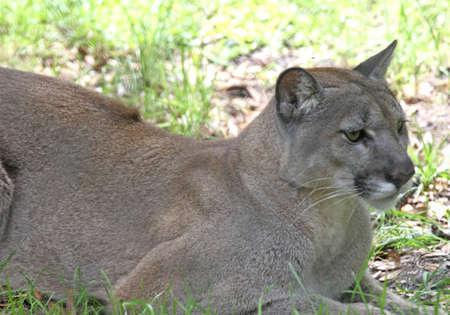 Beautiful big florida panther at ease but yet on the prowl