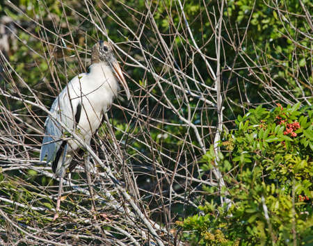 Wood stork sitting in tree resting for trip father south Stock Photo
