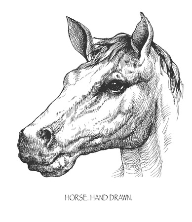 pedigreed: horse hand drawn vector llustration realistic