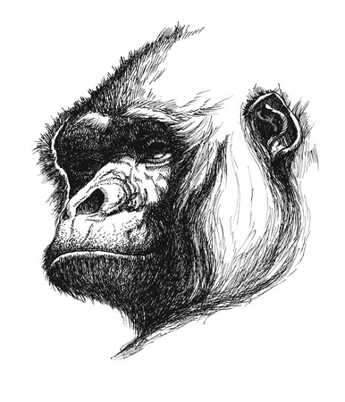 hand drawn gorilla realistic  Vector