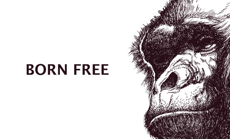 orangutang: Head gorilla. Hand drawn.  Illustration