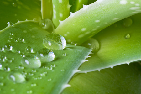 plant growing: Drops of water on leaf of aloe