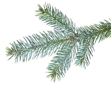 touched: Fir tree branch slightly touched by frost isolated on white Stock Photo