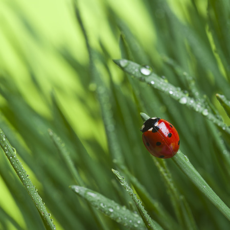 草のテントウムシ 写真素材