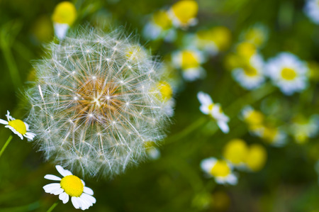 posterity: Large dandelion and chamomile flowers
