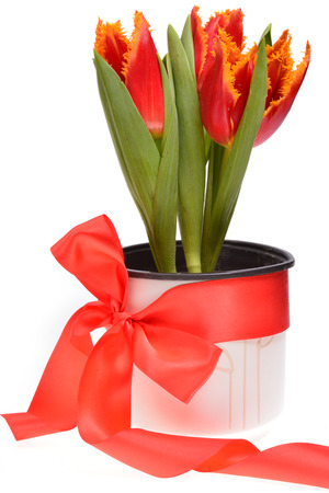 red tulips: Red tulips in a pot wrapped around with red ribbon, isolated