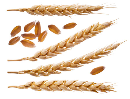 Spikelets and wheat seeds isolated on white