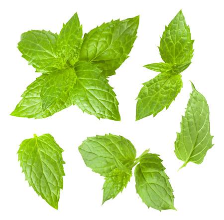 Het verzamelen van munt bladeren geïsoleerd op een witte achtergrond Stockfoto