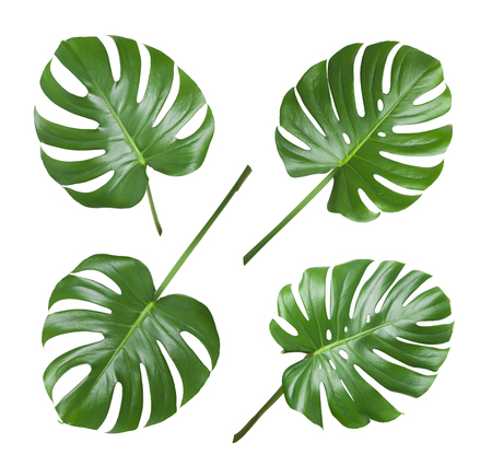 Four various monstera leaves isolated on white