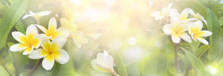 Blossoming frangipani flowers of soft pastel color in blur style Banco de Imagens - 129360499