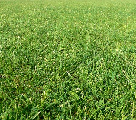 herbage: Green grass background