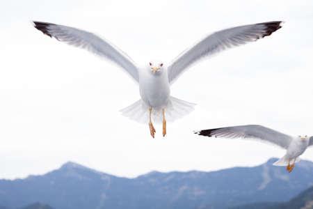 gaviota: Gaviotas volando sobre el mar  Foto de archivo