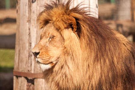 Big cat Lion enjoy on the sunny day photo