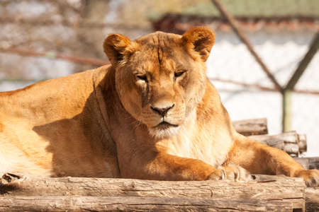 Female lion resting on the sunny day photo