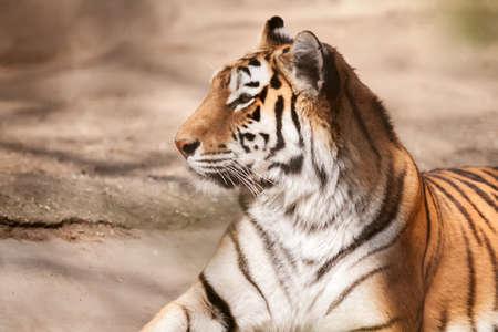 panthera tigris: Tiger big male cat lying