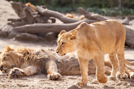 female lion: Adorable female lion walking around and defend herd