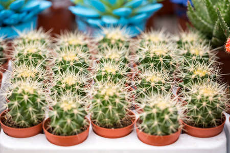 spines: Group of cactus with white spines in greenhouse Stock Photo