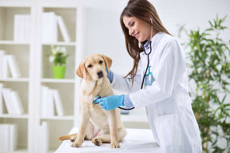Veterinarian doctor and a labrador puppy at vet ambulance Stock Photo