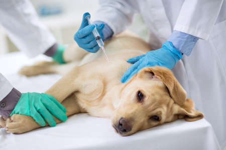 Veterinarian giving injection to a  sick dog Stock Photo