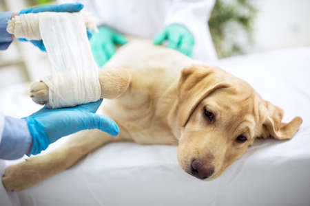 Sad labrator with broken leg at vet surgery Stock Photo